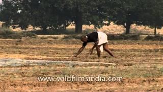 Agriculture in Uttar Pradesh, India