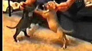 Dog Fighting Documentary First Part