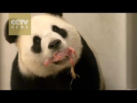 First panda born in Belgium zoo