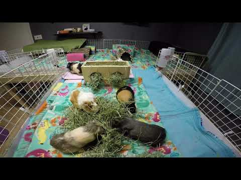 Guinea Pig Cage Clean: Relaxing & Soothing