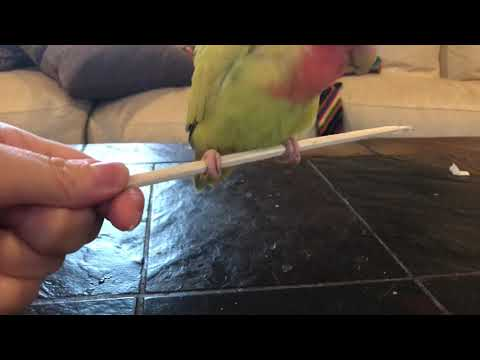 Avian Physical Therapy- Foot Strength