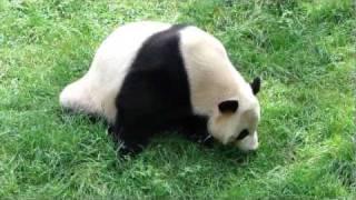Yingying816:mei Xi Eats Grass吃草大熊猫