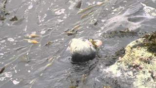 Sea Otters In Monterey Bay