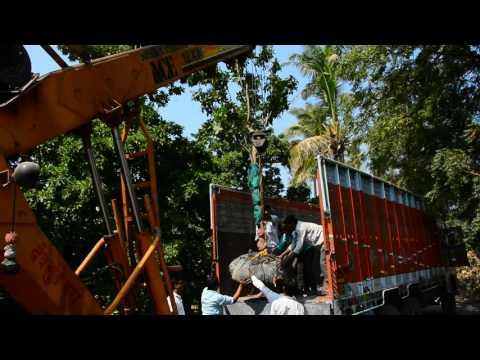 Big tree plantation by Pansare Nursery