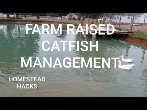 GROWING OUT FARM RAISED CATFISH