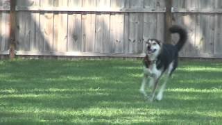 Tampa Dog Training: Dogsmith Of Tampa Presents Lure Coursing!