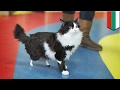 Robo-cat: Amputee stray cat 'Pooh' fitted with prosthetic paws in groundbreaking surgery - TomoNews