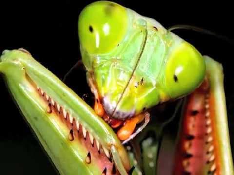 Bir yaratılış mucizesi mantis böcekleri