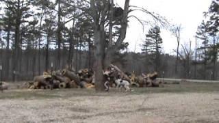 Reba, Ace, Cindy, Dixie Coon Hunting Dog Training