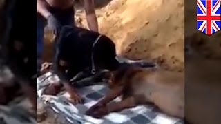Can Dogs Cry? Rottweiler Won't Let Owner Bury Dead Brother-dog