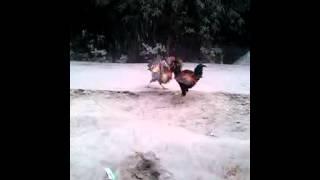 morog lorai Video