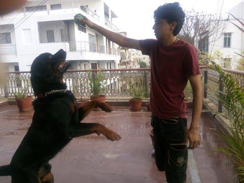 rottweiler training:- having fun (Sirius)