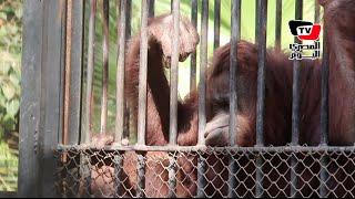 حارس «بونجو» يحكي كواليس اليوم الأخير في حياة إنسان الغاب