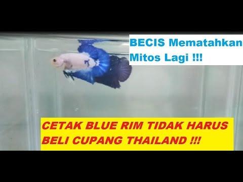 Rahasia Becis Cupang Depok dalam Mencetak Ikan Cupang Blue Rim