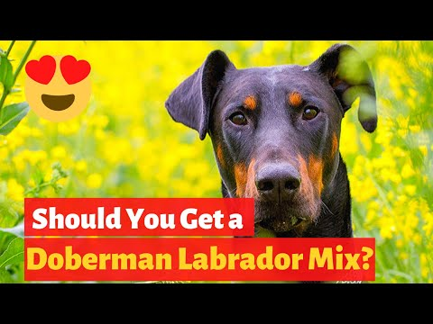 All About The Doberman Labrador Mix (Doberdor) | Is Doberdor the perfect choice for you to get?