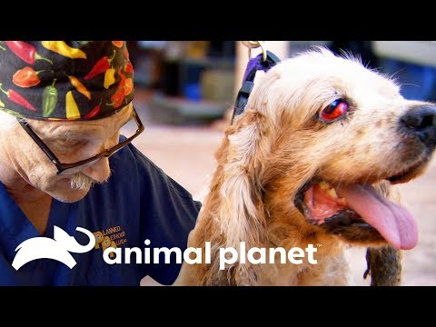 Un Perrito Con Ojo De Cereza | Dr. Jeff, Veterinario | Animal Planet