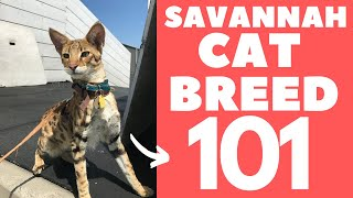 Savannah Cat 101 : Breed & Personality