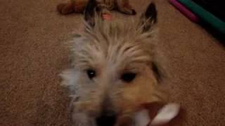 Cairn Terrier Castor Aka Bree Adjusting To Life Col. Potter