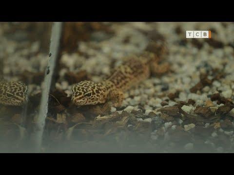 Вопрос: Как часто меняет свой хвост ящерица?