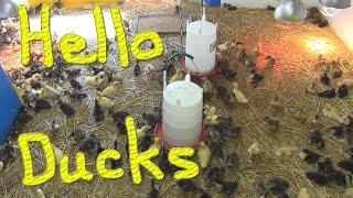 35 Minutes of Cute Ducklings