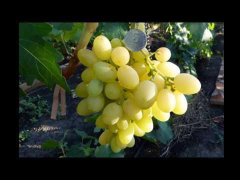 Купить саженцы винограда в Украине - GreenMarket