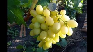 #Виноград каталог1 #Питомник Антипова