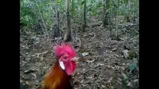 Pikat Ayam Hutan.extacy