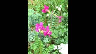 видео Хелоне: посадка и уход в открытом грунте, фото, виды, размножение