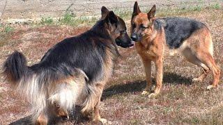 Ждём Щенков Немецкой Овчарки. Expected puppies German Shepherd. Одесса.
