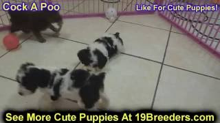 Cock A Poo, Puppies, For, Sale, In, Louisville,county, Kentucky, Ky,  Richmond, Florence, Georgetown