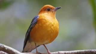 Master Kicau Burung Anis Merah