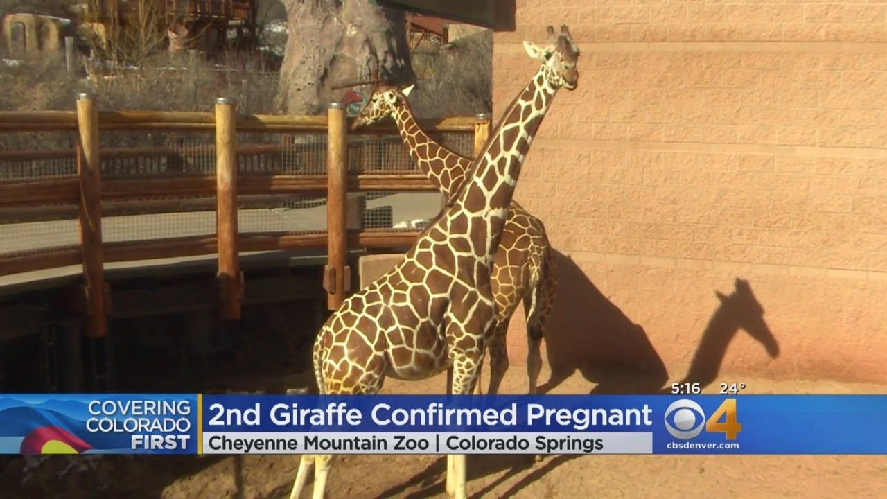 2 Giraffes At Cheyenne Mountain Zoo Are Pregnant