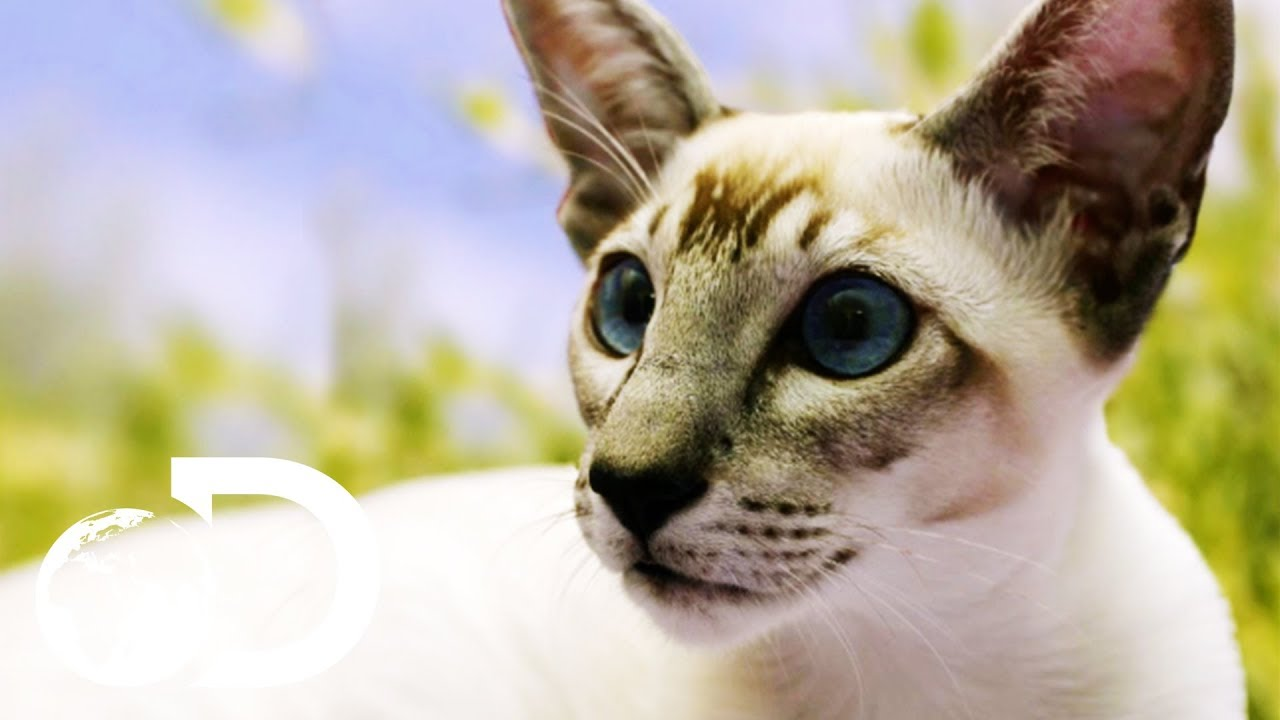 siamese cats the oldest domestic feline cats 101 youtube