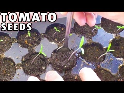 Germinating Tomatoes From Seed Sprouting Planting Tomato Seeds