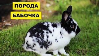 Разведение кроликов породы бабочка как бизнес идея | Кролик бабочка