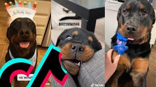 The Coolest Rottweiler TikTok Compilation | Dogs Of TikTok