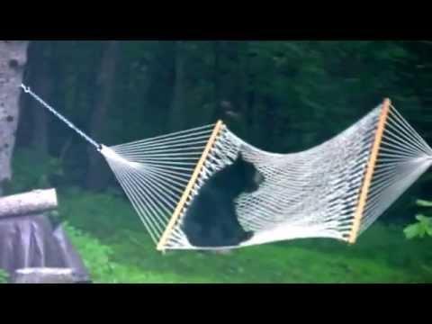Eddie & Rocky - VIDEO: Bear Cub Playing on a Hammock