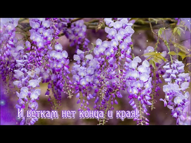 Смотреть видео Посмотрите, как глициния цветет!