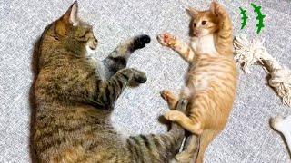 警戒心の強いお姉ちゃん猫が子猫に襲われちゃった♥【柴犬子猫】