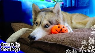 Husky Goes Crazy over Halloween Pumpkin Toy | Howling Huskies