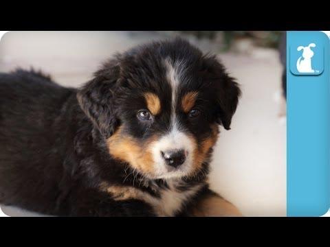 Cute Bernese Mountain Dog Puppies - Puppy Love