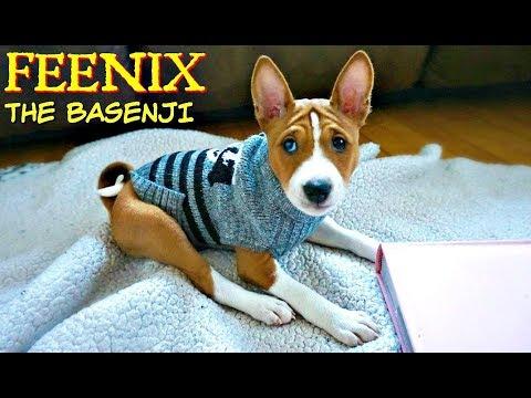 FEENIX is Home! Meet our new BASENJI PUPPY
