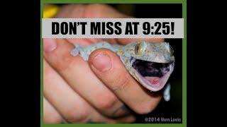 Catching BIG Lizard in my Kitchen (Tokay Gecko - Thailand)