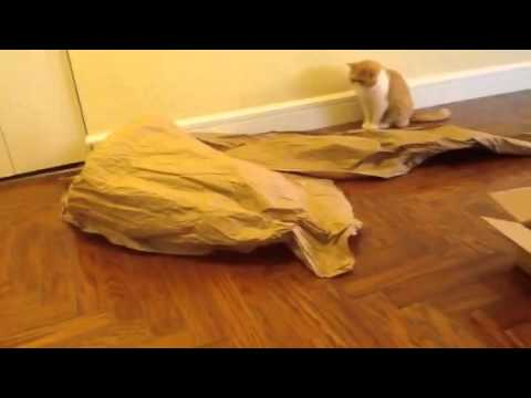 Cat video: Exotic shorthair/flat face cat likes to hide under paper