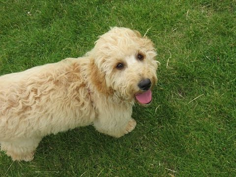 Lottie - Goldendoodle x Labradoodle - 3 Weeks Residential Dog Training
