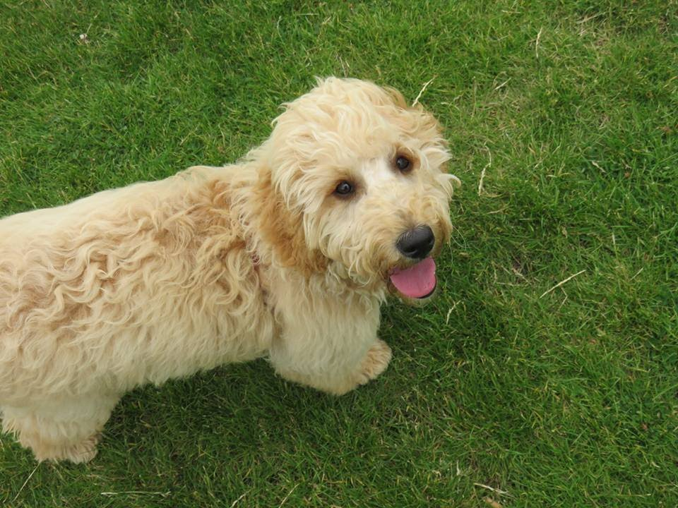 Lottie Goldendoodle X Labradoodle 3 Weeks Residential Dog Training