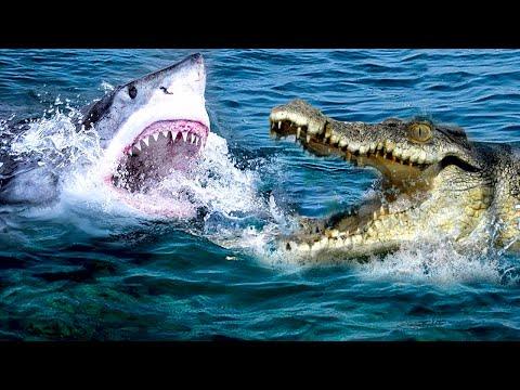Вопрос: Каких размеров бывает белая акула Какой минимум и максимум?