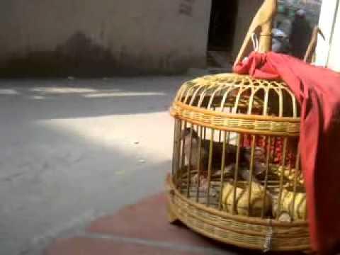 Thả chim cu gáy 2011-12-22