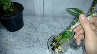 Recuperação Rápida de Orquídeas na Água