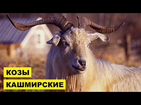 Вопрос: Кого в Евразии называют дикой козой или небольшим оленем, что известно?